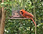 Pandemic Prayer - Covid-19 CoronaVirus-cardinal-feeding-3-jpg